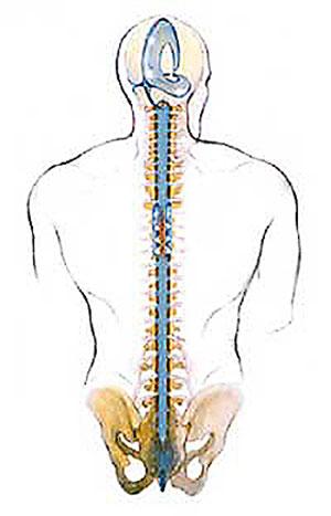 Craniosacral System - Human Back